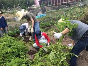 ジャガイモ掘り新