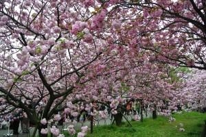 0417桜